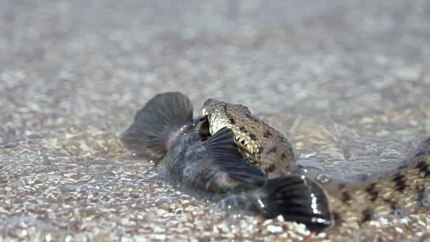 Sea fish in the mouth of a water snake #29327809
