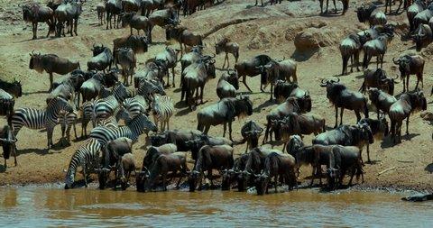 Burchell'S Zebra & Blue Wildebeest Drinking; Maasai Mara Kenya Africa