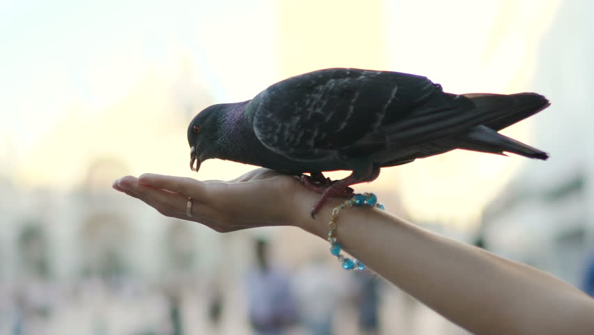 Close-up of woman hand feeding pigeons on San Marco square in Venice, Italy. Slow motion 100 fps | Shutterstock HD Video #29355364