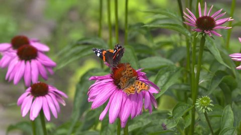 Vanessa Atalanta, Red Admiral and Comma butterfly, Polygonia c-album on echinacea purpurea,  a nectar source for insects and butterflies