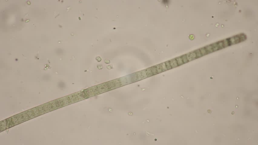 Header of cyanobacterium