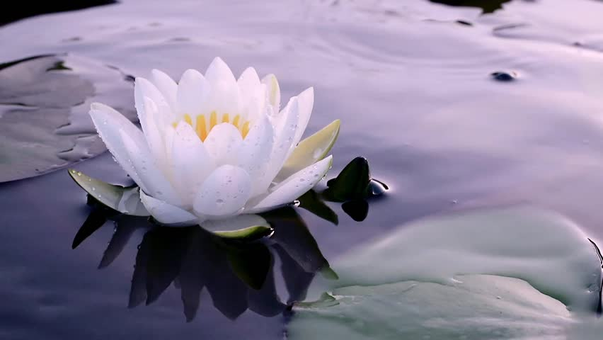 Beautiful White Waterlily Or Lotus Flower In Pond