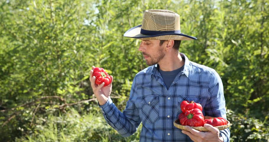 Gardener Man Quality Check Holding Organic Red Pepper Show Ok Sign ...
