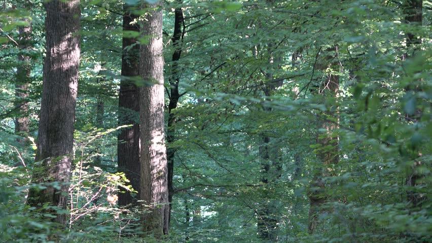 Forest. Transcarpathia | Shutterstock HD Video #29501134