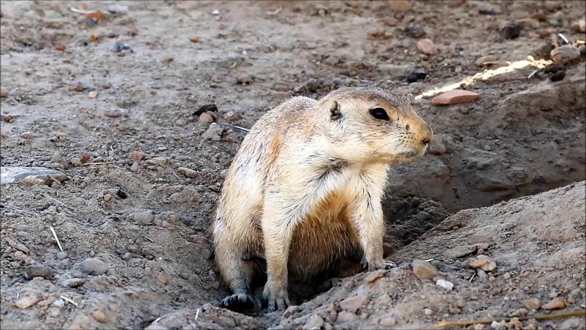 gunnison's prairie dog habitat