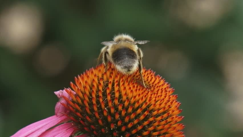 Honey bee feeds on nectar Purple coneflower (echinacea purpurea) + departs extreme closeup