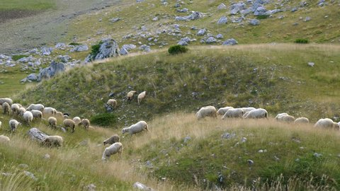flock of sheep on the slopes of the hill
