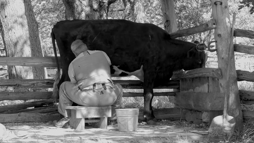 vintage footage of cow being milked by old farmer