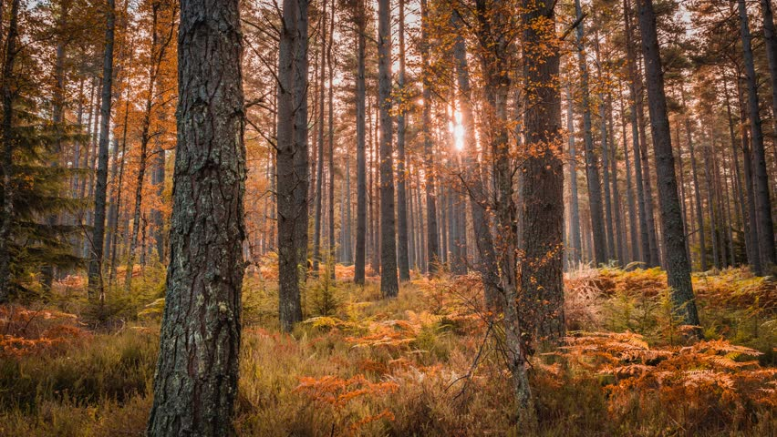A woodland time-lapse of the sun as it passes through Autumn trees. Speyside, Scotland