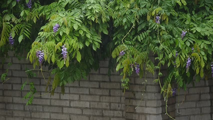 Heavy rain, strong wind shakes the branches of trees, rain water drains. | Shutterstock HD Video #29652514