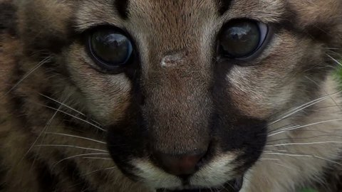 The Cougar (Puma concolor) Cub, also commonly known as the Mountain Lion, Puma, Panther, or Catamount. Extreme close up.