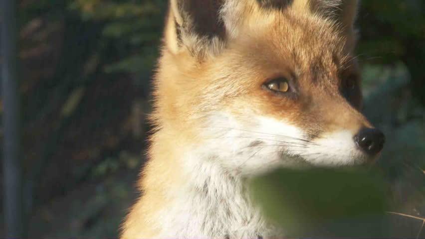 Header of fox