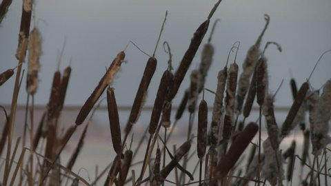 Bulrush thickets in the wind in winter view