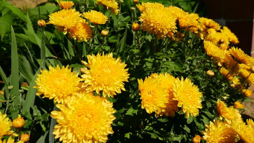 Header of chrysanthemum