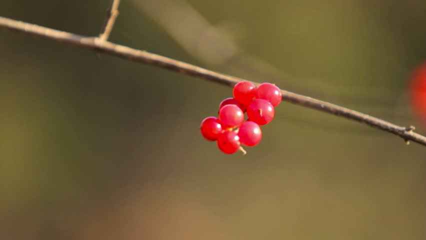 Red Berries on Branch - Close Up