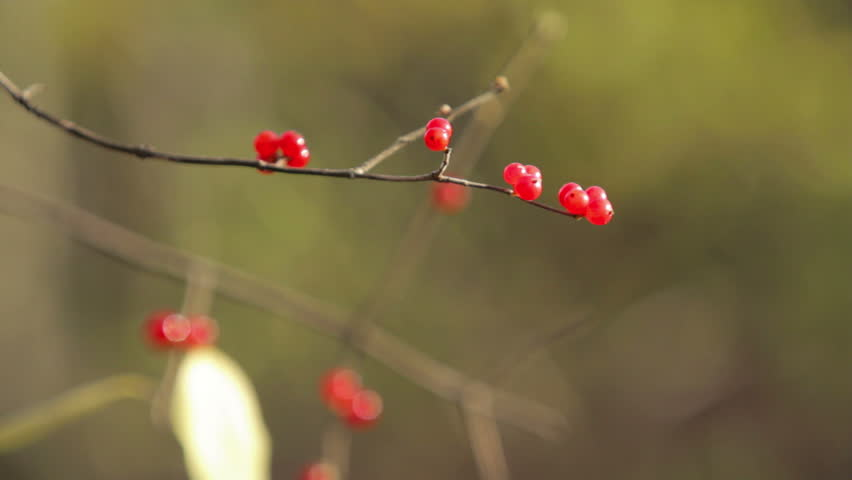 Red Berries - Rack Focus