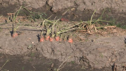 Corn crop damaged and destroyed by hail storm on farm after severe thunderstorm