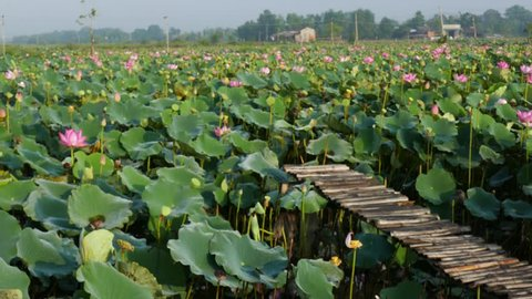Lotus Flower. Background is the lotus leaf and lotus flower and lotus bud