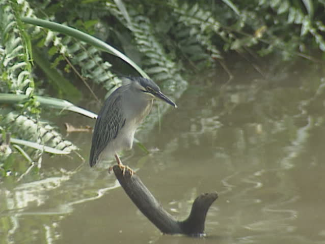 Black-crowned Night-Heron (Nycticorax nycticorax) stands still and waits to ambush prey. the Black-crowned Night-Heron is the most widespread heron in the world