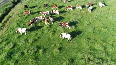 Aerial bird view circling above meadow with red Holstein Friesians cattle grazing grass showing their long shadows from sundown in grass field these cows are usually used for dairy production 4k