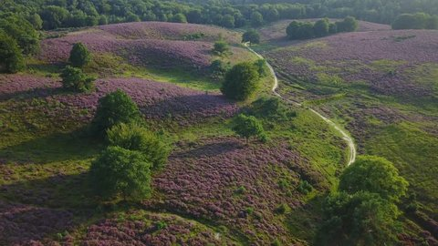 Aerial of purple heather in bloom at national park the Posbank Veluwe Netherlands - 4K
