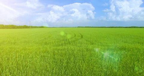 UHD 4K aerial view. Low flight over green and yellow wheat rural field at sunny summer day. Green trees and sun rays on horizon. Fast horizontal movement.