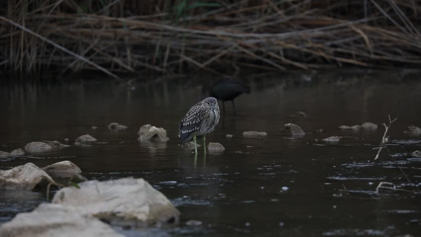Black-crowned Night Heron / Nycticorax nycticorax Juvenile night heron hunting for a prey in the river