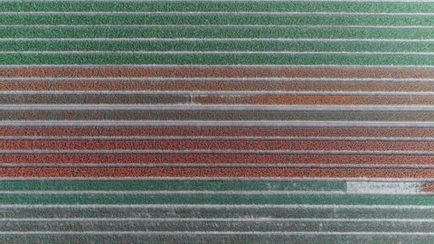 Aerial top down view of polder landscape tulip field drone flying forward straight over field and looking down showing different rows of flowers and several colors red green and yellow 4k quality