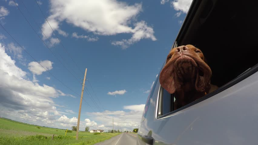 hilarious dog mastiff jowls flapping in the wind car ride