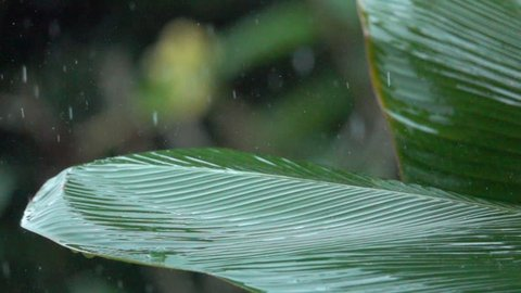SLOW MOTION, CLOSE UP: Detail of raindrops falling down on lush green banana palm leaf during heavy summer monsoon rainfall. Waterdrops washing tree foliage. Rain pouring on green leaves in garden