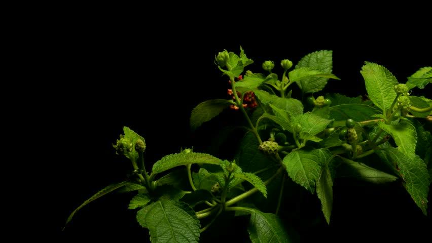 Time lapse of West Indian Lantana (Lantana camara) flowers blooming. Studio shot over black.