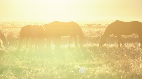 Horse herd grazing through a field of golden sunshine along the pony express route.