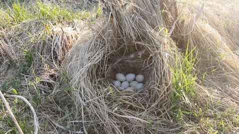 Guide to bird nests. Mallards (Anas platyrhynchus) nest in dense old grass with tent and lots of white eggs. Mallard nests early, young grass only breaks