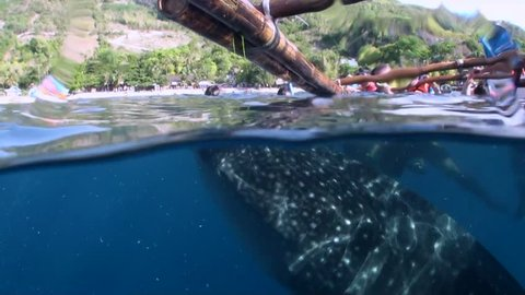 Whaleshark Feeding And Snorkelers - Split Shot