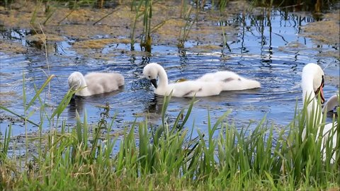 swan cygnets searching feed in a lake