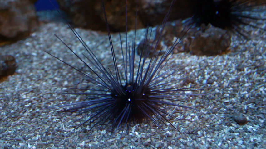sea urchin on the seabed