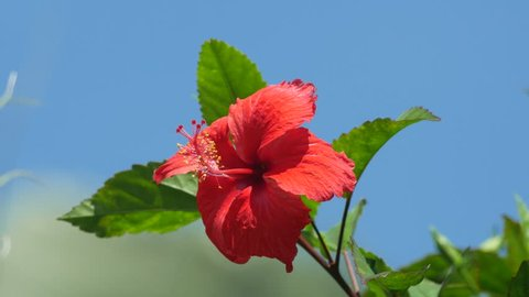 front view of a red Chinese rose flower shaking with wind under the clear blue sky