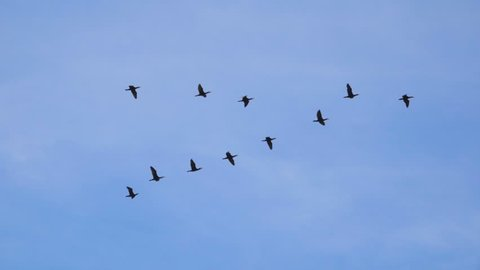 Follow leaders: Flock of  geese flying in an imperfect V formation.   Birds Geese flying in formation, Blue sky background. Migrating Greater birds flying in Formation