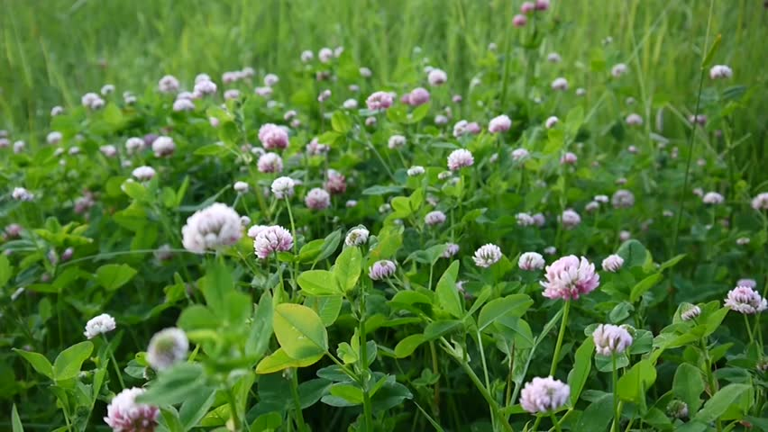 Clover blossom in a field in summer. Trifolium medium. #30437797