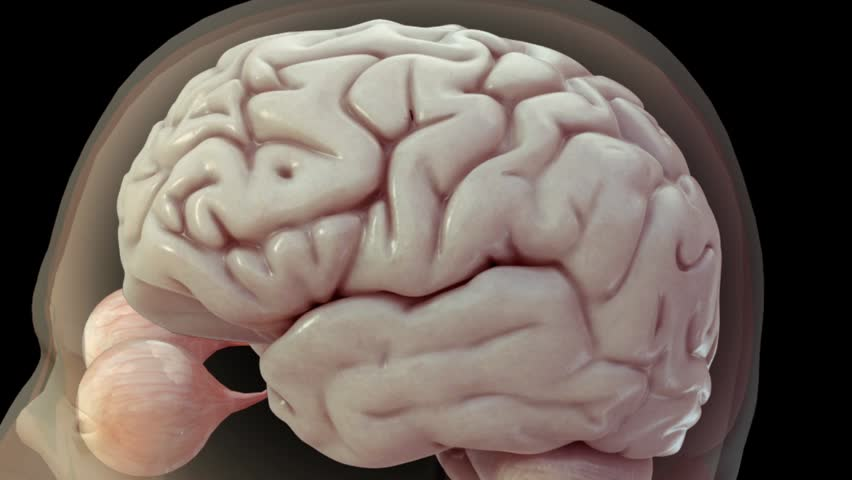 Realistic 3D anatomical model showing central nervous system including brain and eyes and then transitioning to high zoom of electrical activity via neurotransmitters and action potentials   Shutterstock HD Video #3061921