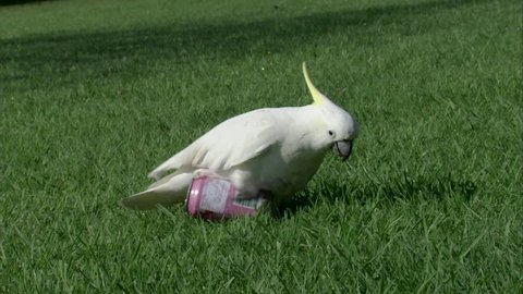 MS SHAKY Sulphur-crested cockatoo (Cacatua galerita) playing with can in park / Sydney, New South Wales, Australia