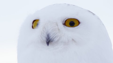 CU Portrait of Snowy Owl (Bubo scandiacus)