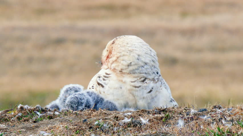 MS SELECTIVE FOCUS Snowy Owl (Bubo scandiacus) with young owlets in nest | Shutterstock HD Video #30647494