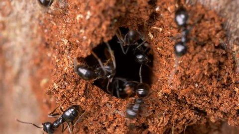 Jet black ants (Lasius fuliginosus)