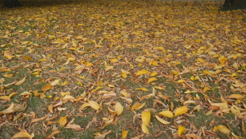 Yellow leaves. Fall has come. | Shutterstock HD Video #30661174