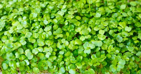 Mircogreens arugula from seeds to salad in time lapse are growing.  Green grass. Dew on the grass. Germinated arugula seeds as healthy micro greens. Seedling plants