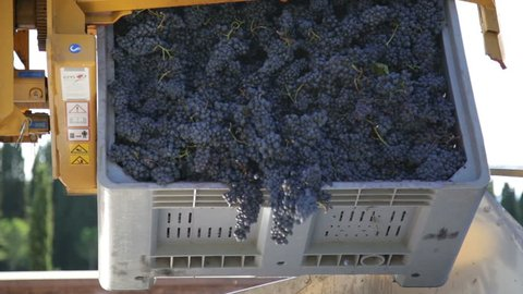 crates filled with bunches of grapes are emptied
