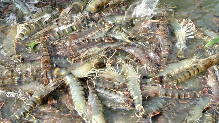 Harvesting Tiger Prawns Form Commercial Stock Footage Video (100%  Royalty-free) 30932284 | Shutterstock
