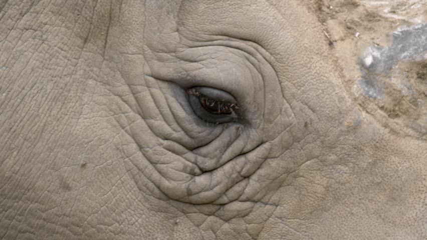 White rhino's eye   Shutterstock HD Video #30972364