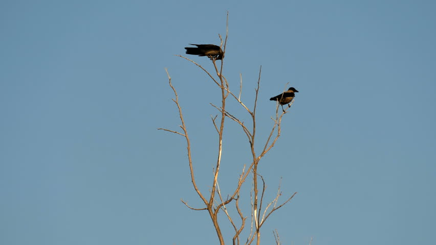 Two crows sit on a withered tree and fly away. Real time. | Shutterstock HD Video #30985774